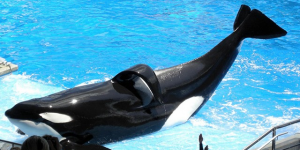 Thumbnail image for How You Can Help the Dolphins and Whales in Captivity