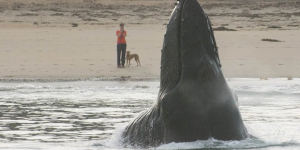 Thumbnail image for Humpback whale surprises dog on beach