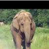 Thumbnail image for Elderly Elephant Waits for Friend