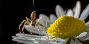 Thumbnail image for Spiders Use the Earth's E-Field to Fly – Can We?