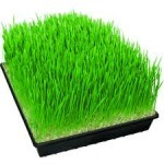 Wheatgrass and It's Amazing Health Benefits