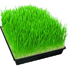 Post image for Wheatgrass and It's Amazing Health Benefits